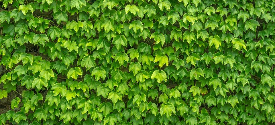 pnoucí rostliny na plotě